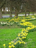 Daffodils on The Bailey